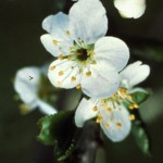 Cherry Plum 1