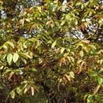 Walnut Tree Bach Flower Essence