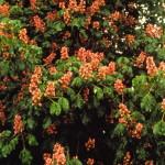 Red Chestnut Bach Flower Essence