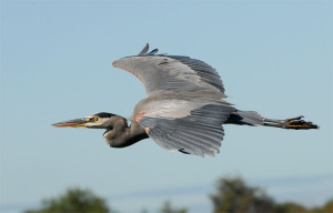GreatBlueHeron3
