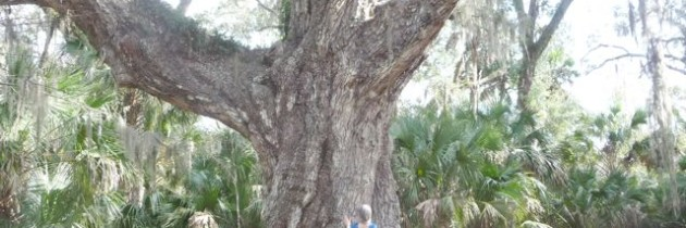 Oak (Quercus Ruber)