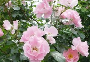wilde-rose2